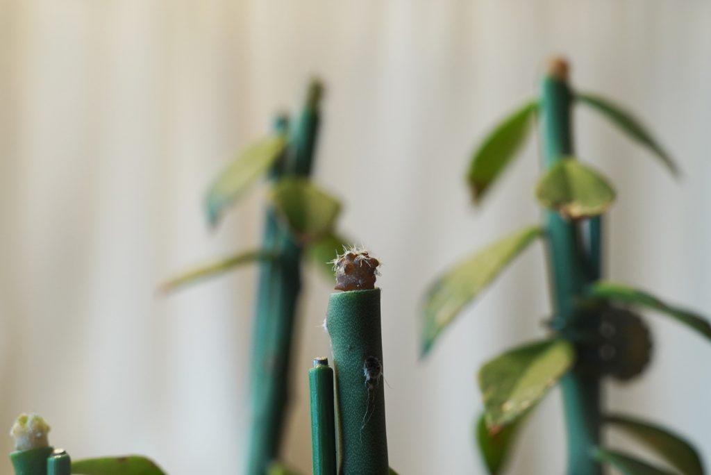 サボテン接ぎ木